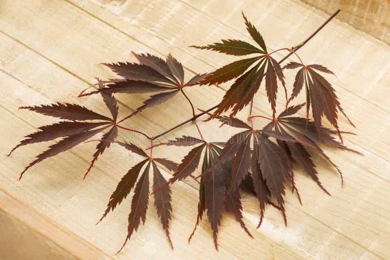 Хворостина свежих коричневых японских кленовых листов стоковое изображение