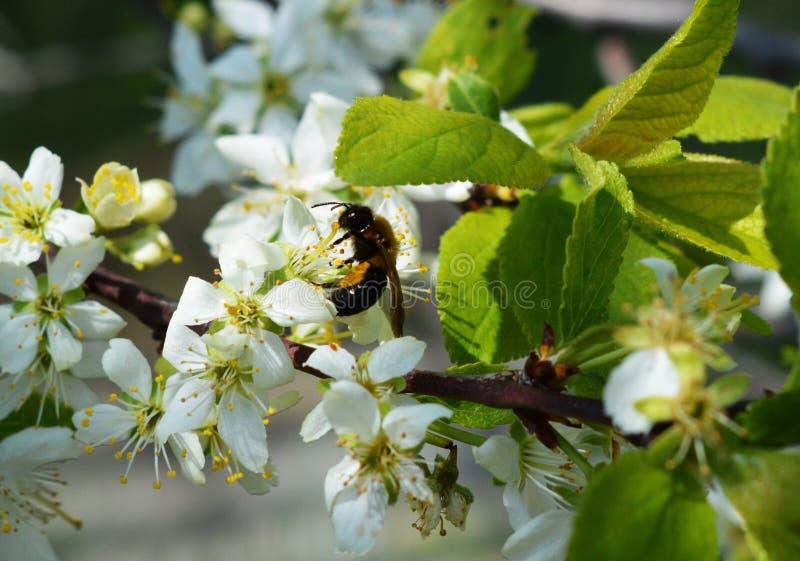 Хворостина с белыми цветками вишни в саде Шершень на цветке стоковые изображения