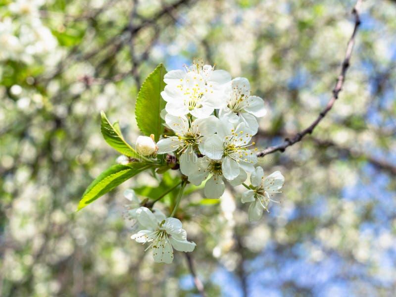 Хворостина с много белых цветений в саде весной стоковые изображения rf
