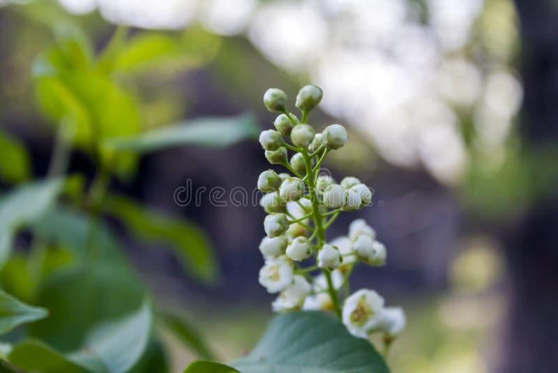 Хворостина с цветками цвести вишни птицы стоковое фото rf
