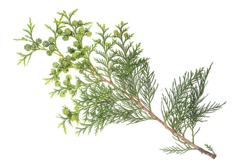 Хворостина Cypress стоковые изображения rf