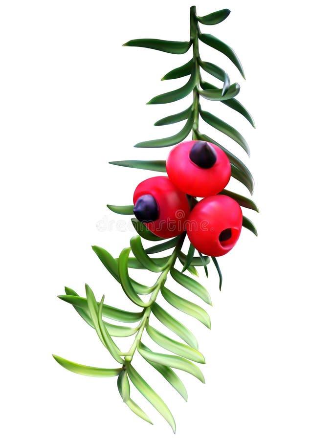 Хворостина Taxus (yew) бесплатная иллюстрация