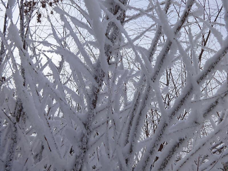 Хворостины покрытые с изморозью и снегом в зиме стоковое изображение rf