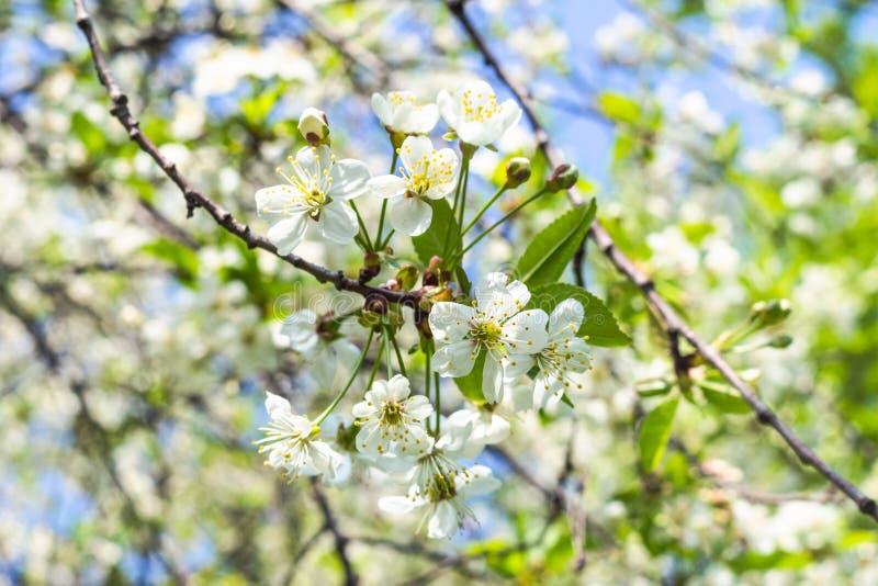 Хворостины с белыми цветениями в саде весной стоковые фото