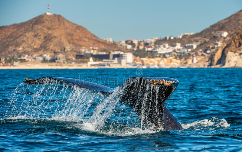 Хвостовой плавник могущественного горбатого кита над поверхностью океана Научное имя: Novaeangliae Megaptera E стоковое фото rf
