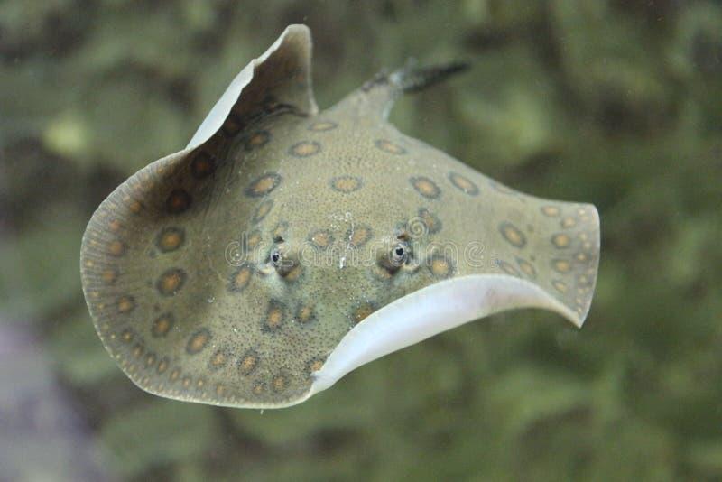 Хвостоколовый дальше к рыбам аквариума стоковое фото