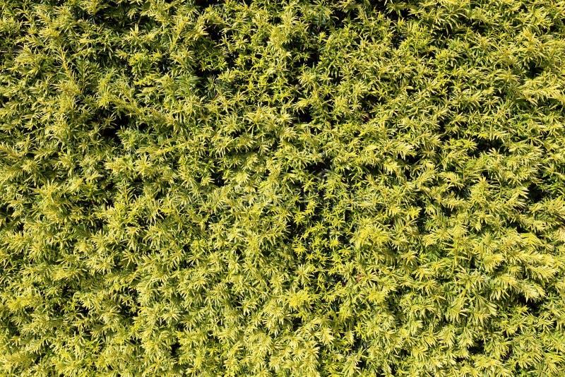 Хедж сосны стоковое изображение rf