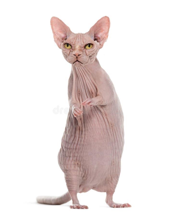 Химера с сердитым безволосым телом ` s кота и крысы сфинкса против wh стоковые изображения