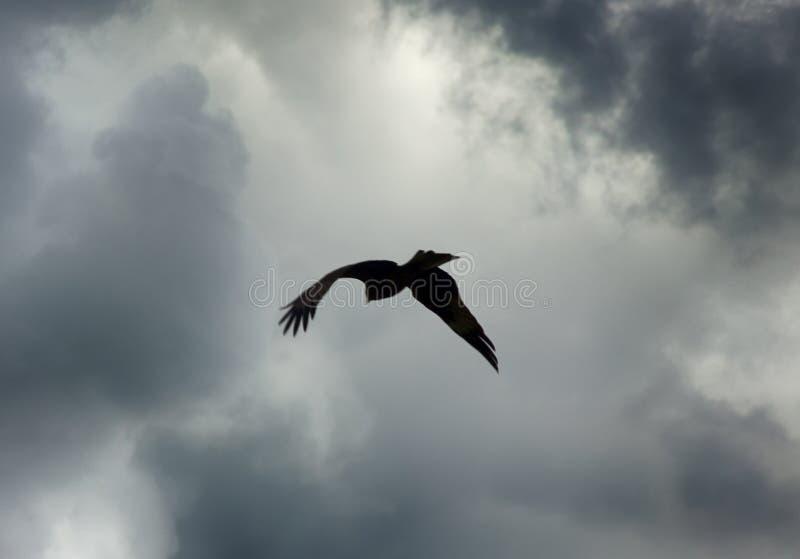 Хищная птица (змей) в небе стоковые изображения