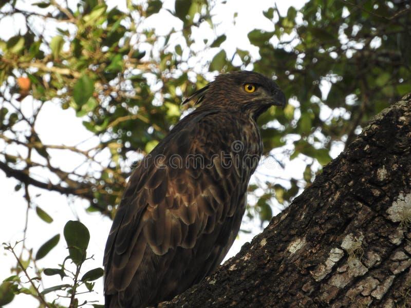 Хищная птица сидя на ветви и взглядах вокруг Шри-Ланка, дикое животное в Uda Walawe стоковые фото