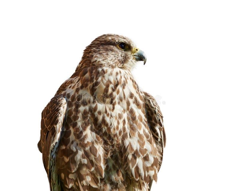 Хищная птица - Kestrel на белизне стоковое фото rf