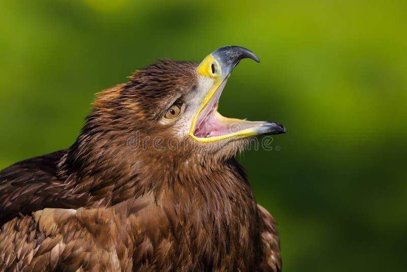 Хищная птица nipalensis aquila орла степи стоковые изображения rf