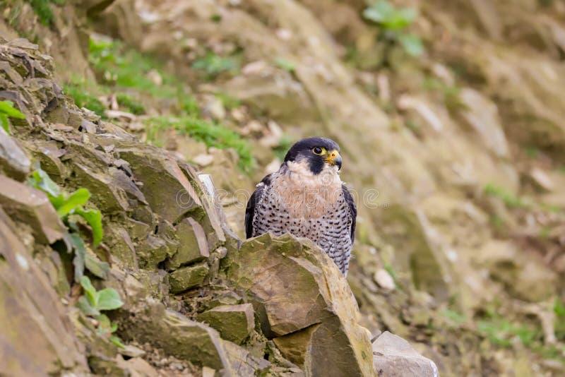 Хищная птица peregrinus Falco сапсана стоковая фотография rf