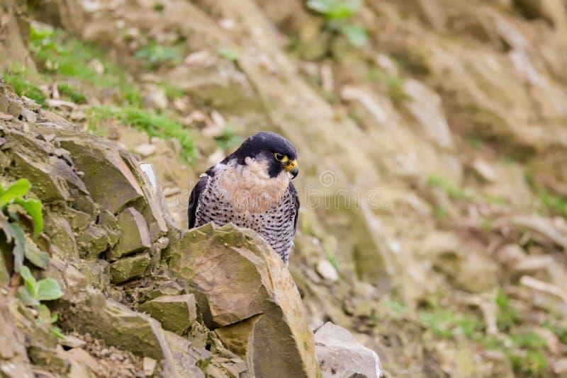 Хищная птица peregrinus Falco сапсана стоковые фотографии rf