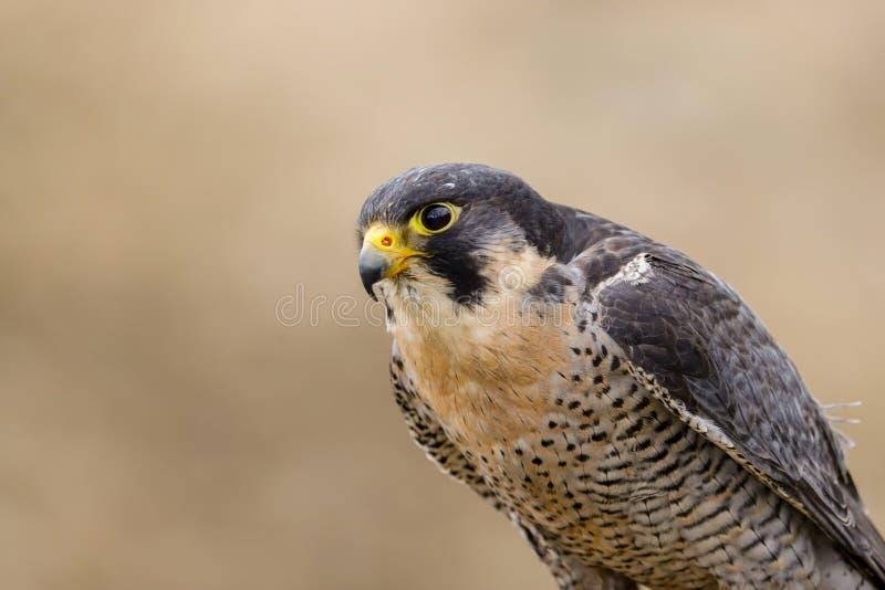 Хищная птица peregrinus Falco сапсана стоковое изображение rf