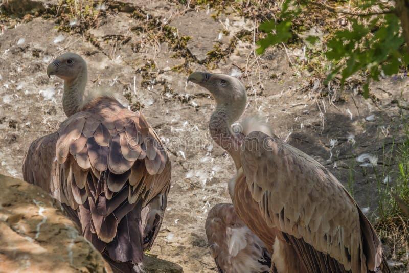 2 хищника griffon просматривая область стоковая фотография