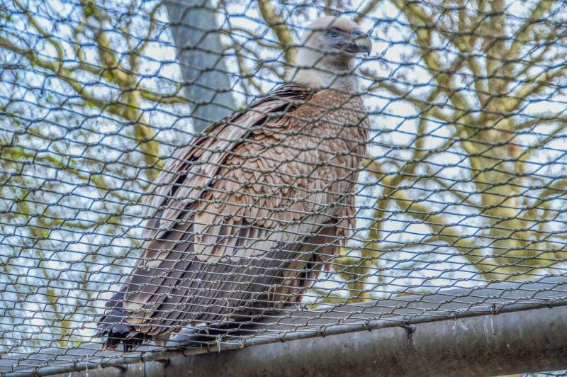 Хищник за решеткой на зоопарке Амстердаме Artis Нидерланды стоковые изображения rf