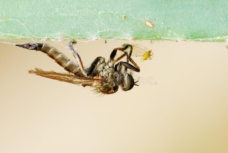 хищник насекомого Стоковая Фотография