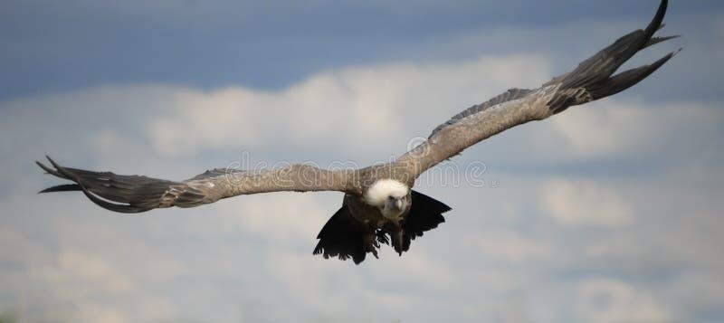 хищник полета стоковая фотография