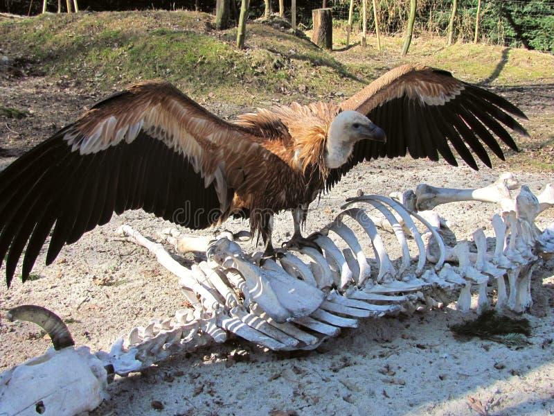 Хищник Griffon на скелете стоковые изображения