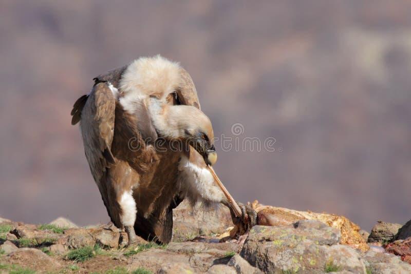 Download Хищник Griffon (fulvus Gyps) Стоковое Изображение - изображение насчитывающей хищник, одичало: 37928785