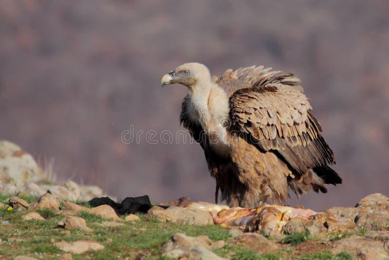 Download Хищник Griffon (fulvus Gyps) Стоковое Изображение - изображение насчитывающей wildlife, environment: 37928807