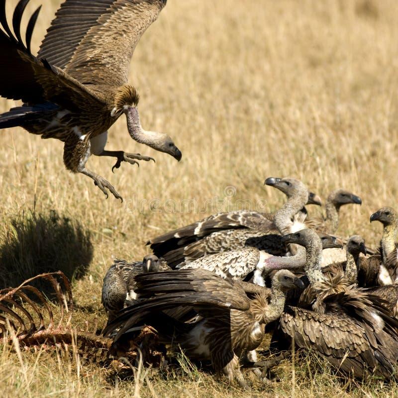 хищник Masai Кении Mara Стоковые Фотографии RF