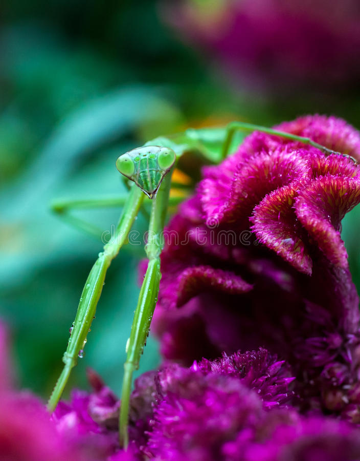 Хищничая Mantis стоковая фотография