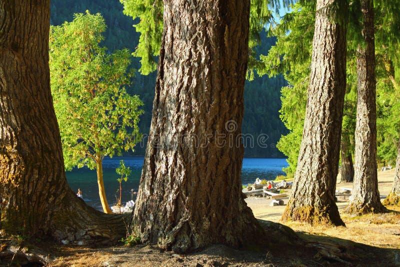 Хлопоки и ели Дугласа на серповидном озере, олимпийском национальном парке, Вашингтоне стоковое изображение rf