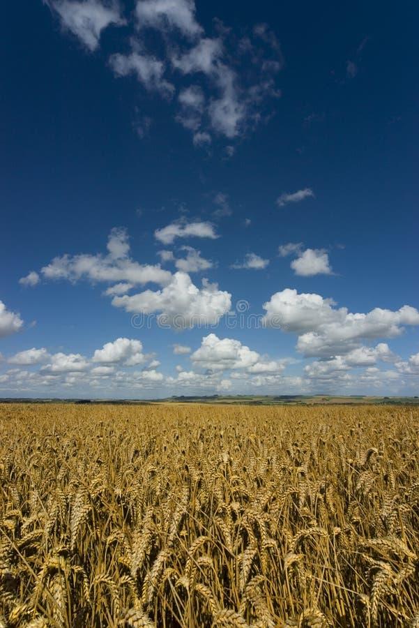 хлопьев урожая knoll вниз зрелый стоковое изображение rf