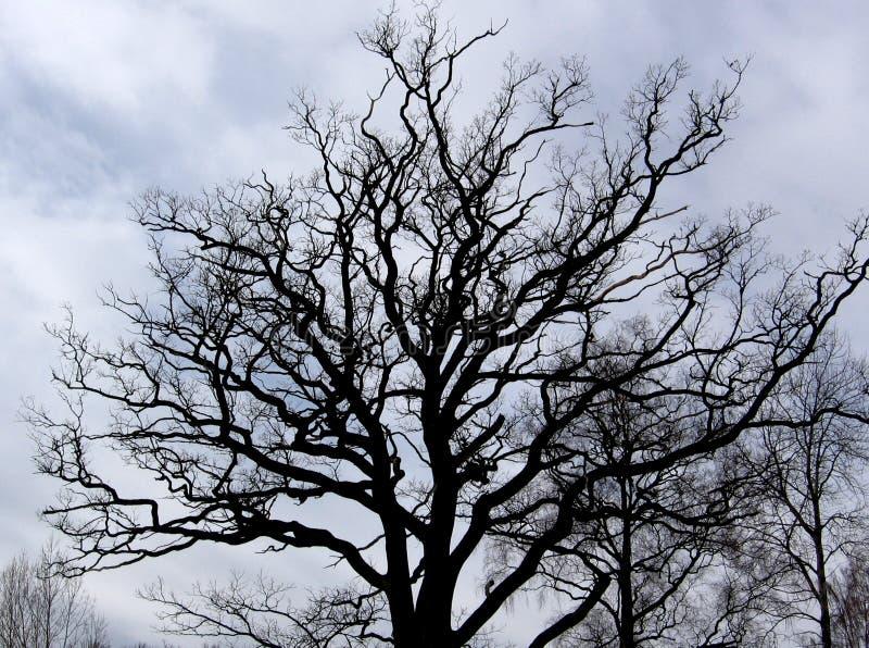 хмурый дуб стоковые изображения
