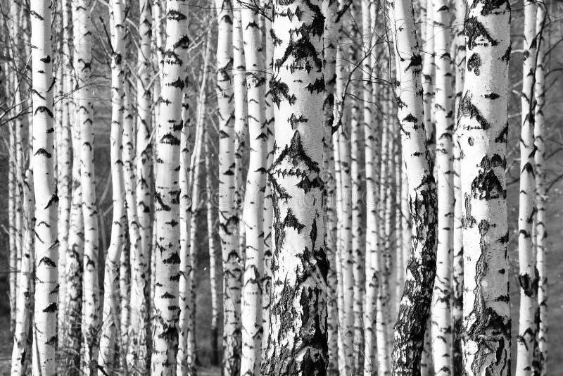 Хоботы деревьев березы в черно-белом стоковая фотография