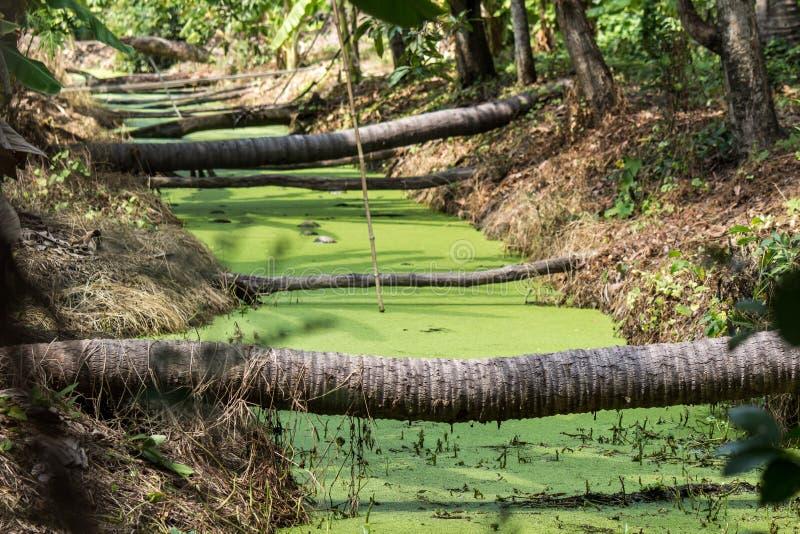 Хоботы кокосовой пальмы клали вниз как мосты через рев покрытый Duckweed в сельской местности Таиланда стоковые изображения rf