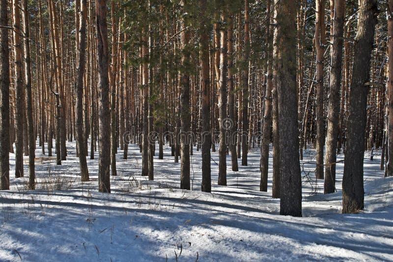 Хоботы сосенки в пуще зимы Стоковые Фото