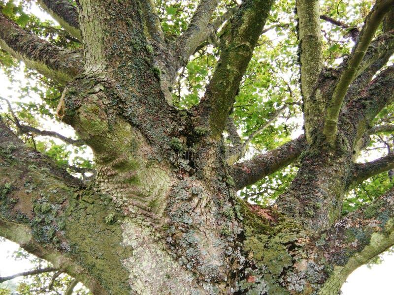 Хобот большого дерева стоковое изображение rf