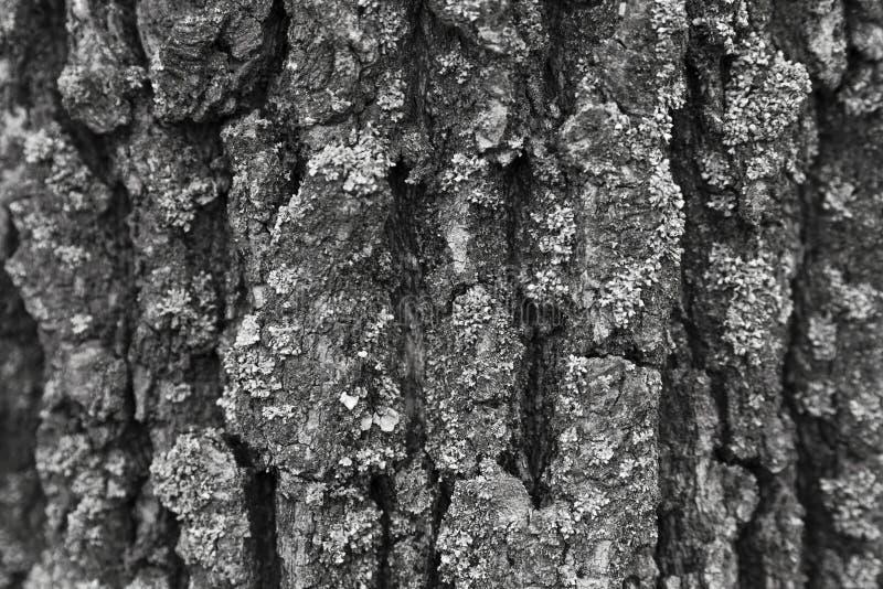 Хобот большой сосны в белых горах, Inyo County Bristlecone таза, Калифорнии стоковые изображения