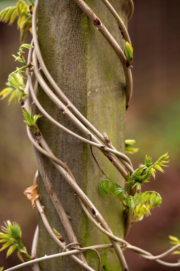 Хобот глицинии с молодыми листьями в оболочке вокруг деревянного поляка в саде стоковое фото