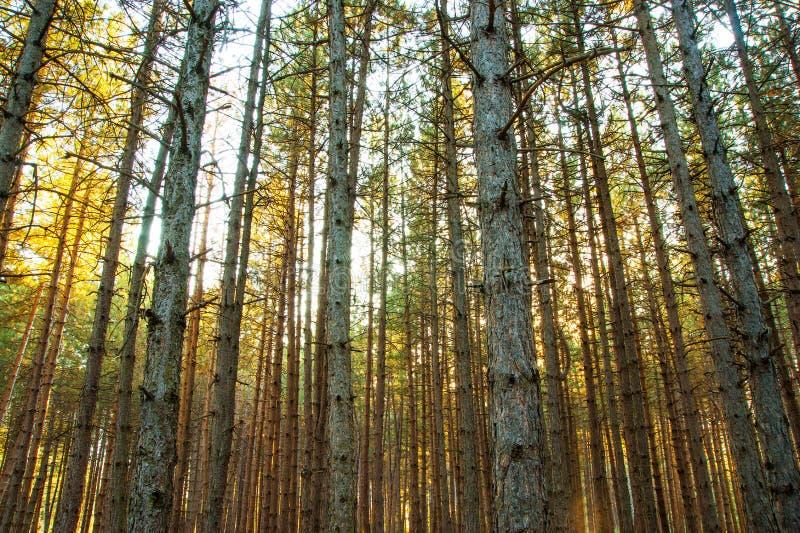 Хобот длинных сосен к небу в лесе, природном парке golcuk в isparta, Турции стоковые фотографии rf