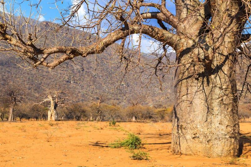 Хобот дерева баобаба в лесе баобаба стоковые изображения