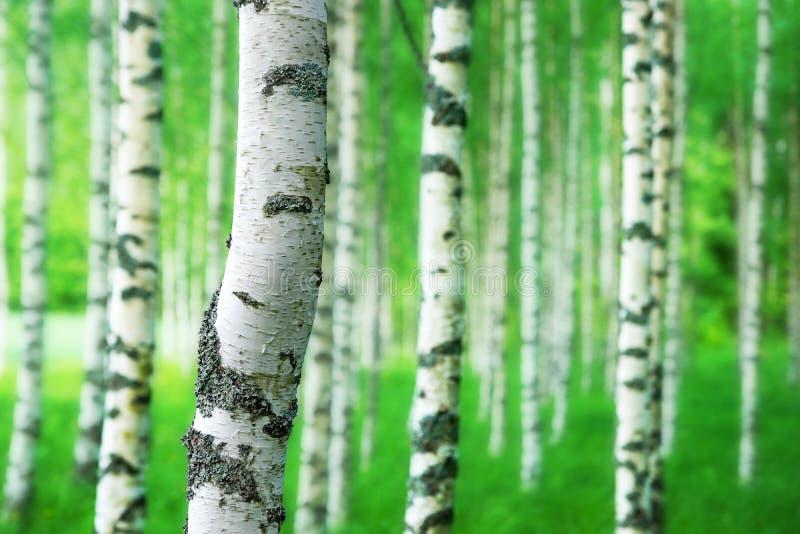 Хобот дерева березы стоковые изображения rf
