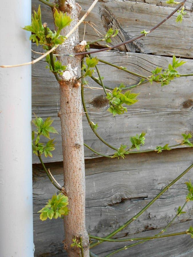 хобот дерева и старой доски стоковое изображение rf