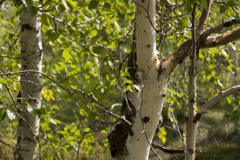 Хобот зеленого witn деревьев березы черно-белый в роще леса лета E стоковое изображение