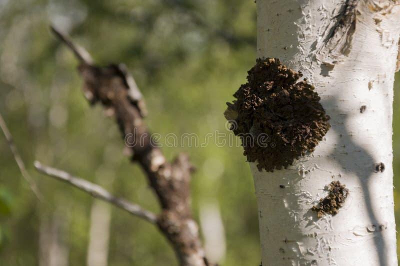 Хобот зеленого witn деревьев березы черно-белый в роще леса лета E стоковые фотографии rf