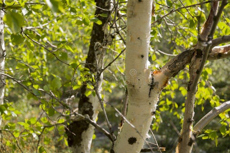 Хобот зеленого witn деревьев березы черно-белый в роще леса лета E стоковое фото
