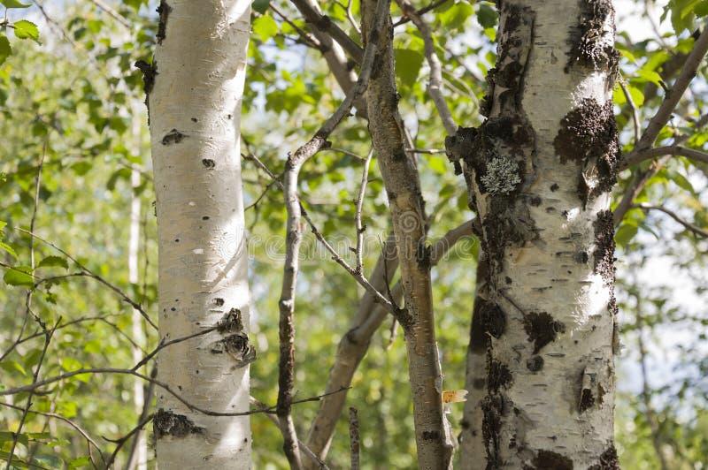 Хобот зеленого witn деревьев березы черно-белый в роще леса лета E стоковые изображения rf