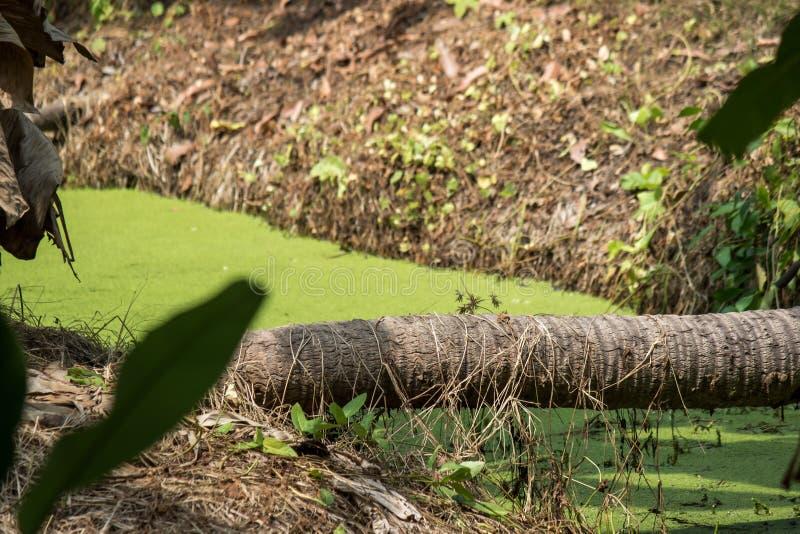 Хобот кокосовой пальмы клал вниз как мост через рев покрытый Duckweed в сельской местности Таиланда стоковые фотографии rf