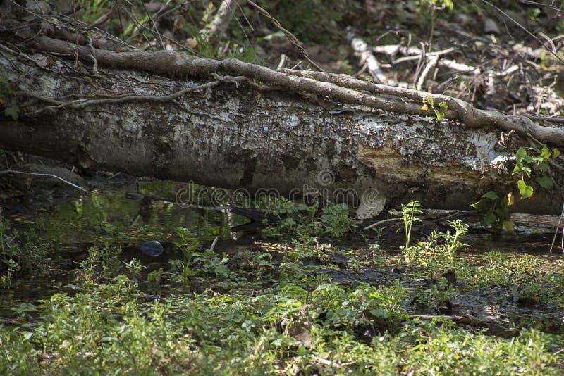 Хобот упаденного дерева на потоке стоковое фото