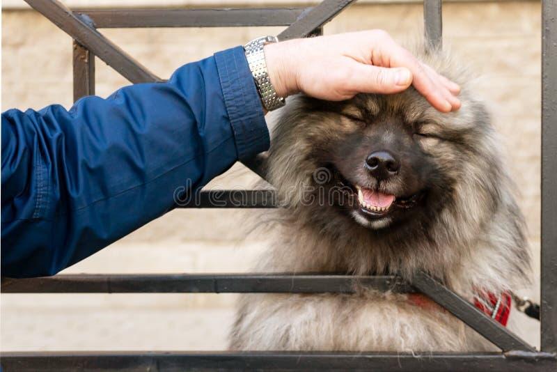 Ходы человека голова собаки руки, смотря через бары Собака Wolfschitz потехи стоковые фото