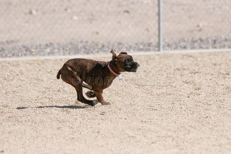 Ход щенка боксера как быстро по мере того как он может на парке стоковое изображение