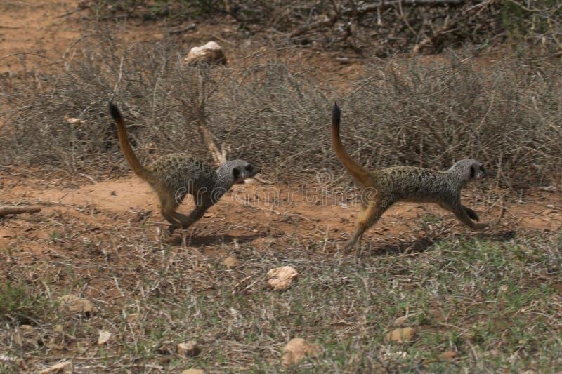 ход meerkat стоковые изображения rf